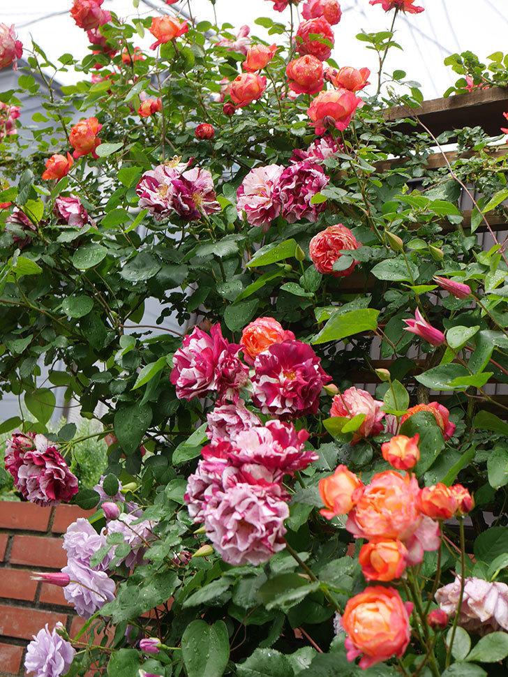 プリンセス・ダイアナ(テキセンシス系 新枝咲き)の花が増えてきた。2021年-012.jpg