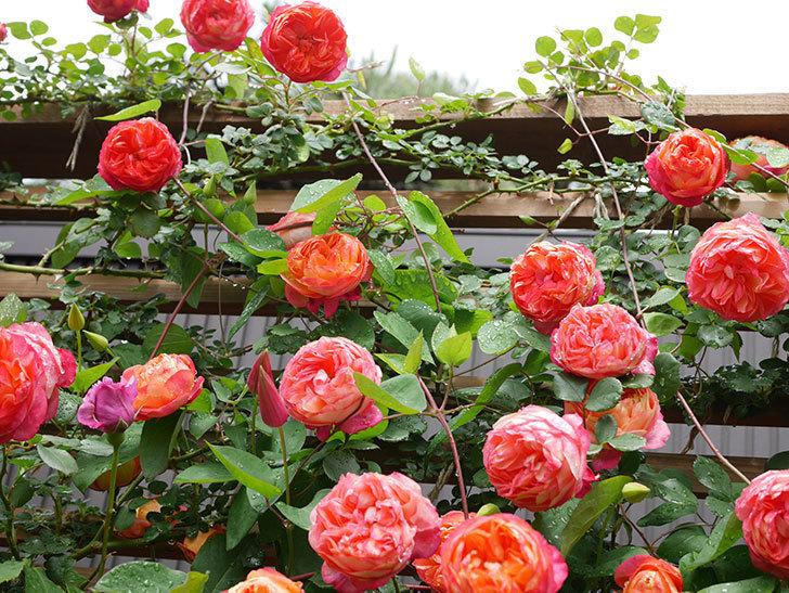 プリンセス・ダイアナ(テキセンシス系 新枝咲き)の花が増えてきた。2021年-013.jpg