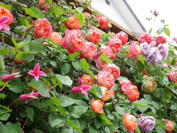 プリンセス・ダイアナ(テキセンシス系 新枝咲き)の花が増えてきた。2021年-014.jpg
