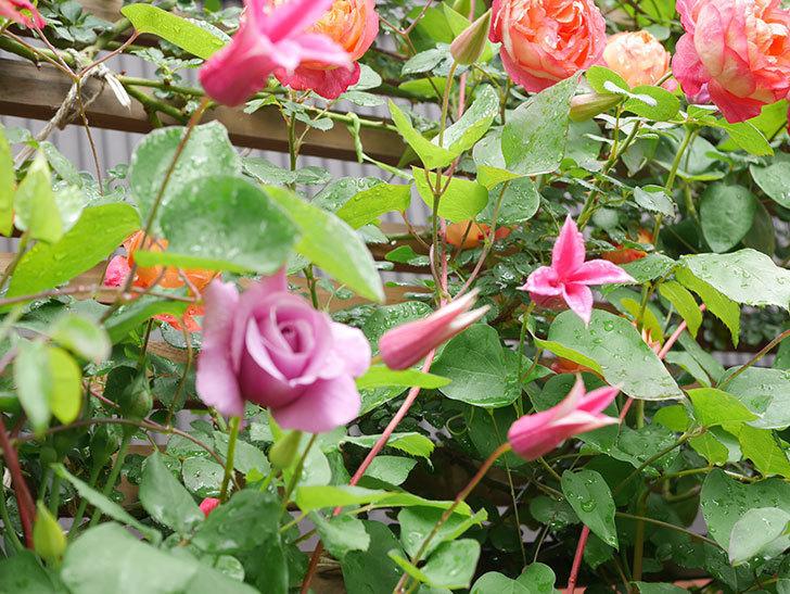 プリンセス・ダイアナ(テキセンシス系 新枝咲き)の花が増えてきた。2021年-015.jpg