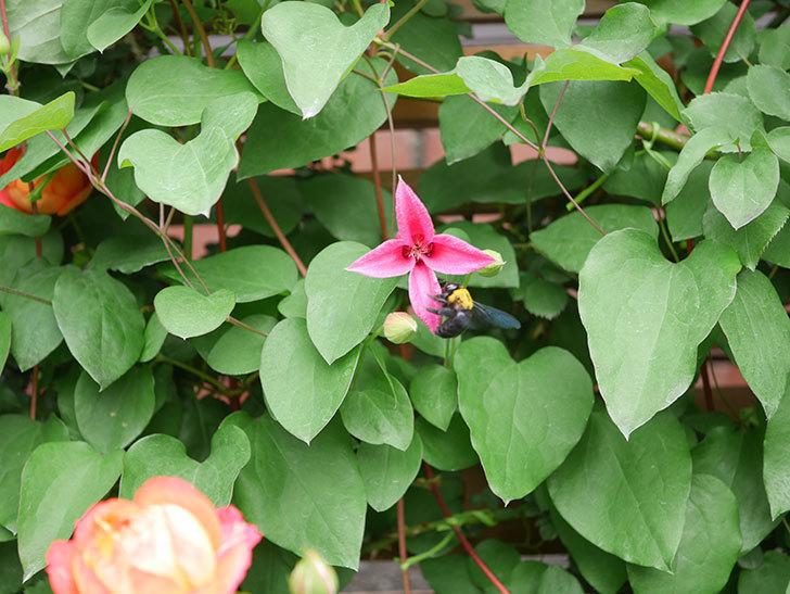 プリンセス・ダイアナ(テキセンシス系 新枝咲き)の花が増えてきた。2021年-018.jpg