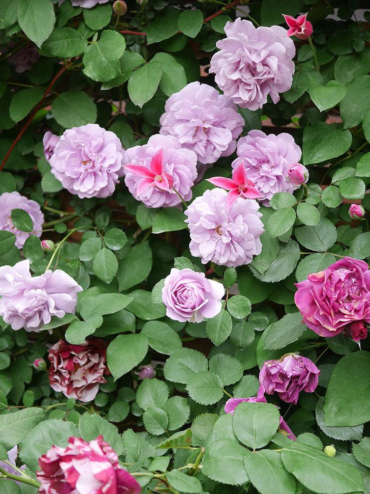 プリンセス・ダイアナ(テキセンシス系 新枝咲き)の花が増えてきた。2021年-021.jpg