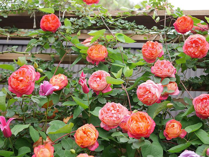 プリンセス・ダイアナ(テキセンシス系 新枝咲き)の花が増えてきた。2021年-022.jpg