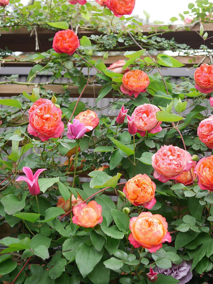 プリンセス・ダイアナ(テキセンシス系 新枝咲き)の花が増えてきた。2021年-023.jpg