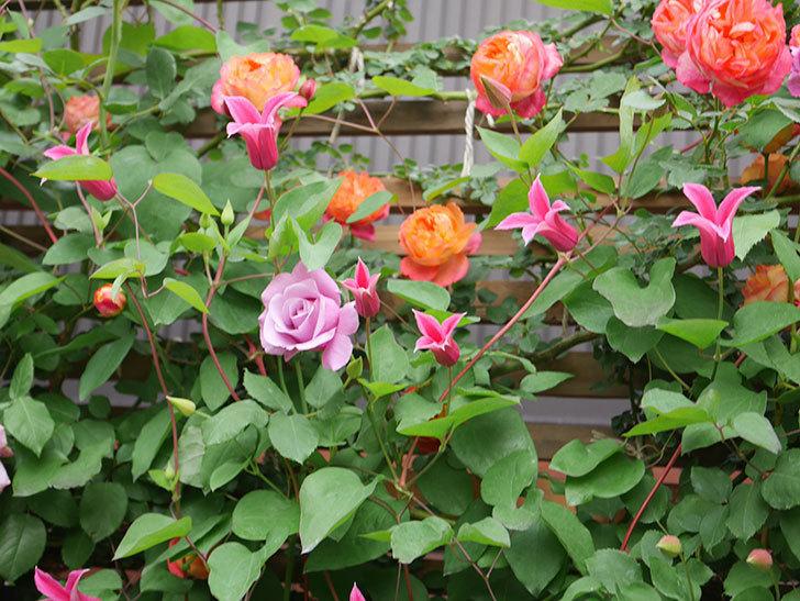 プリンセス・ダイアナ(テキセンシス系 新枝咲き)の花が増えてきた。2021年-024.jpg