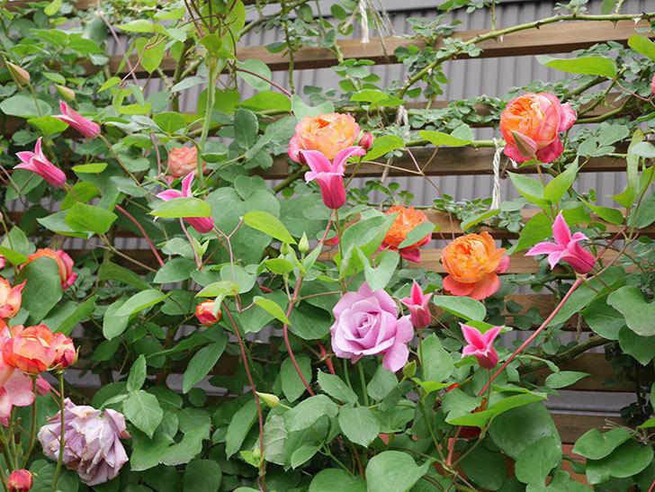 プリンセス・ダイアナ(テキセンシス系 新枝咲き)の花が増えてきた。2021年-025.jpg