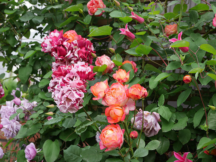 プリンセス・ダイアナ(テキセンシス系 新枝咲き)の花が増えてきた。2021年-026.jpg