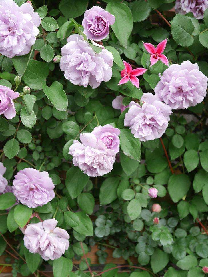 プリンセス・ダイアナ(テキセンシス系 新枝咲き)の花が増えてきた。2021年-027.jpg