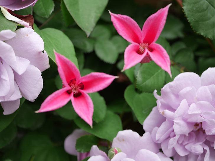 プリンセス・ダイアナ(テキセンシス系 新枝咲き)の花が増えてきた。2021年-028.jpg