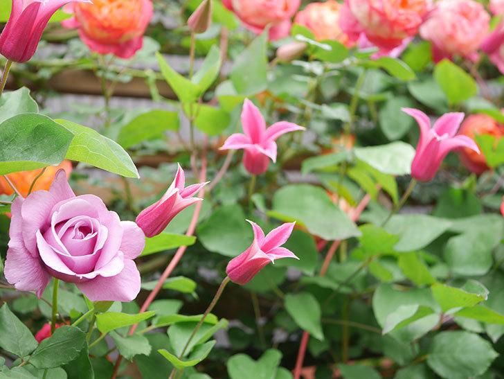 プリンセス・ダイアナ(テキセンシス系 新枝咲き)の花が増えてきた。2021年-030.jpg