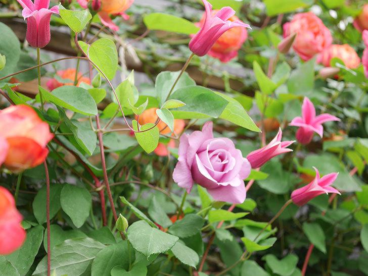 プリンセス・ダイアナ(テキセンシス系 新枝咲き)の花が増えてきた。2021年-032.jpg