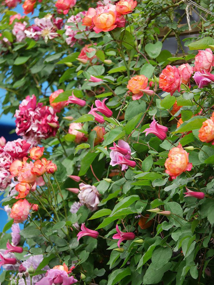 プリンセス・ダイアナ(テキセンシス系 新枝咲き)の花が増えてきた。2021年-034.jpg