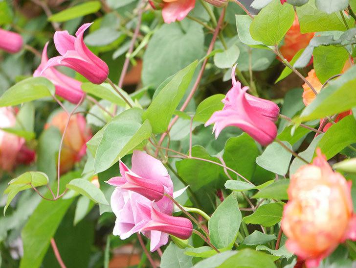 プリンセス・ダイアナ(テキセンシス系 新枝咲き)の花が増えてきた。2021年-036.jpg