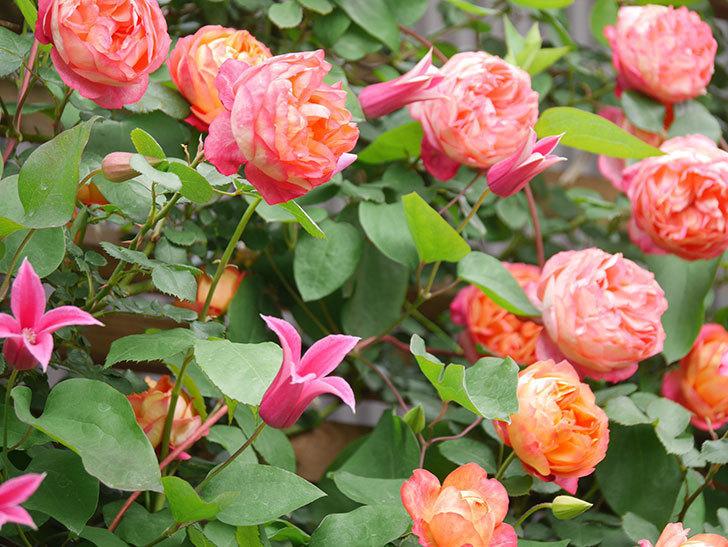 プリンセス・ダイアナ(テキセンシス系 新枝咲き)の花が増えてきた。2021年-039.jpg