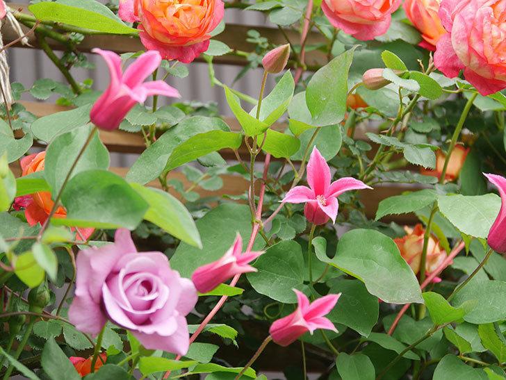 プリンセス・ダイアナ(テキセンシス系 新枝咲き)の花が増えてきた。2021年-040.jpg