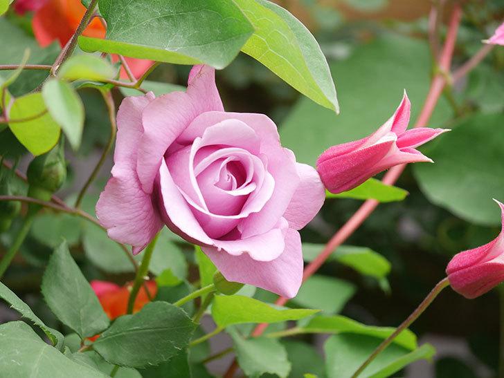 プリンセス・ダイアナ(テキセンシス系 新枝咲き)の花が増えてきた。2021年-041.jpg