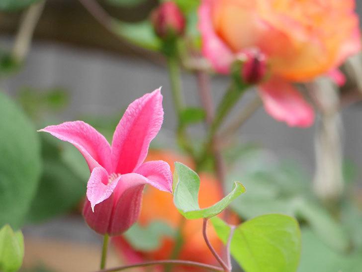 プリンセス・ダイアナ(テキセンシス系 新枝咲き)の花が増えてきた。2021年-044.jpg