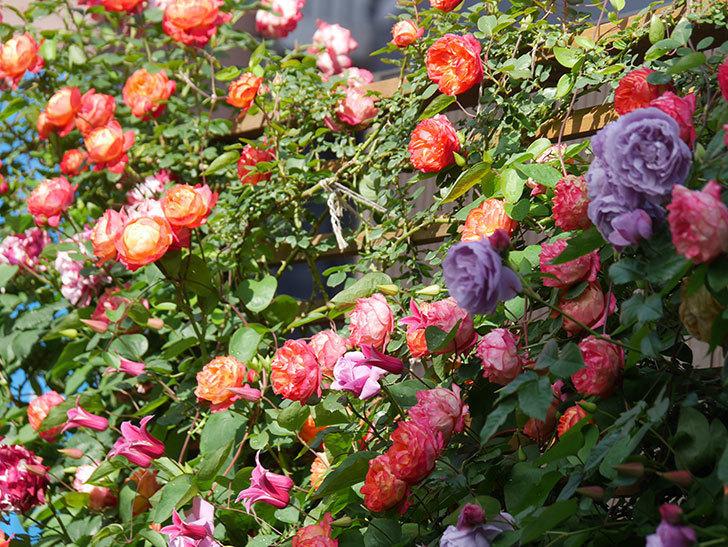 プリンセス・ダイアナ(テキセンシス系 新枝咲き)の花が増えてきた。2021年-046.jpg