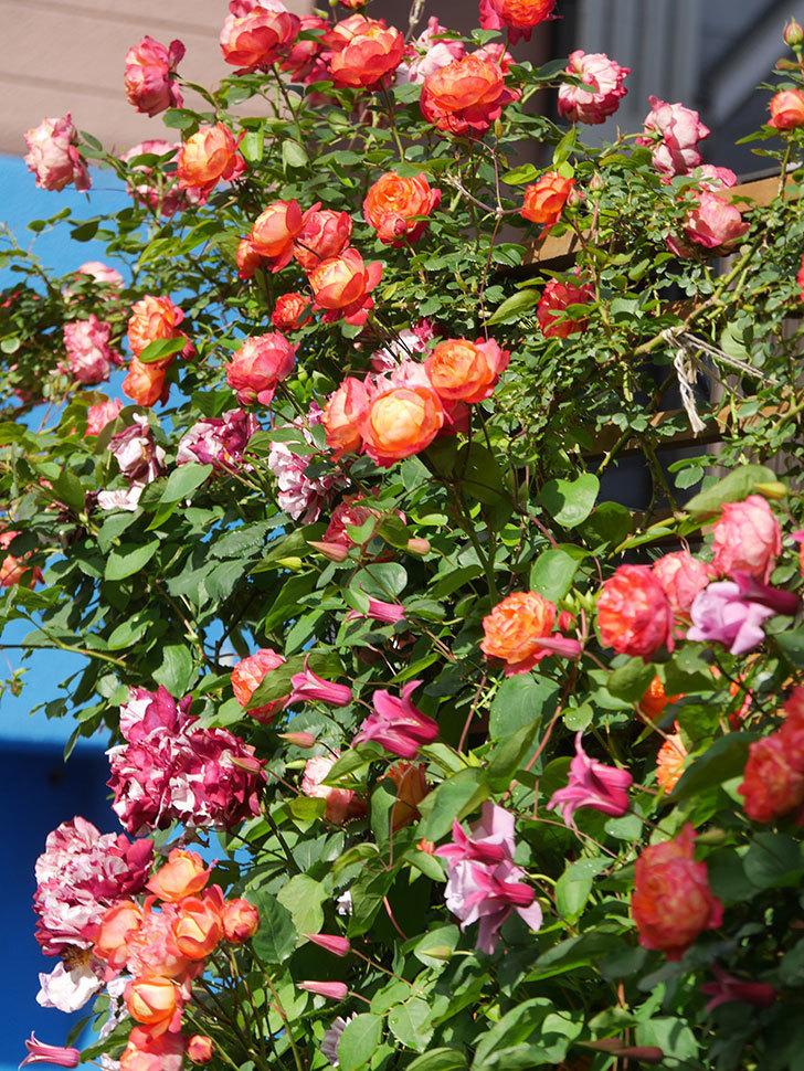 プリンセス・ダイアナ(テキセンシス系 新枝咲き)の花が増えてきた。2021年-047.jpg