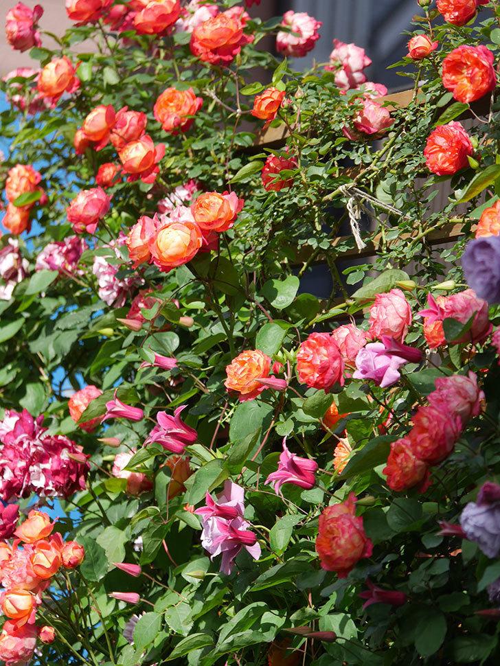 プリンセス・ダイアナ(テキセンシス系 新枝咲き)の花が増えてきた。2021年-048.jpg