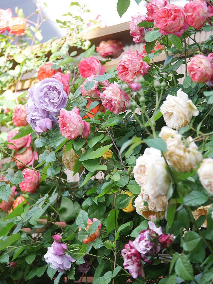 プリンセス・ダイアナ(テキセンシス系 新枝咲き)の花が増えてきた。2021年-049.jpg