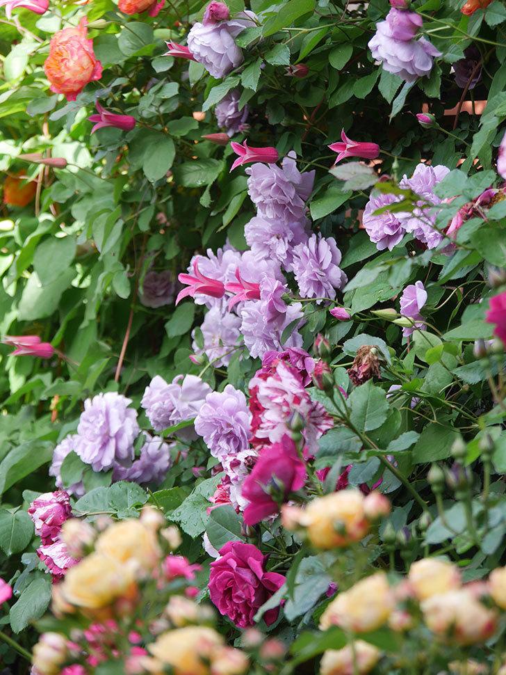 プリンセス・ダイアナ(テキセンシス系 新枝咲き)の花が増えてきた。2021年-050.jpg
