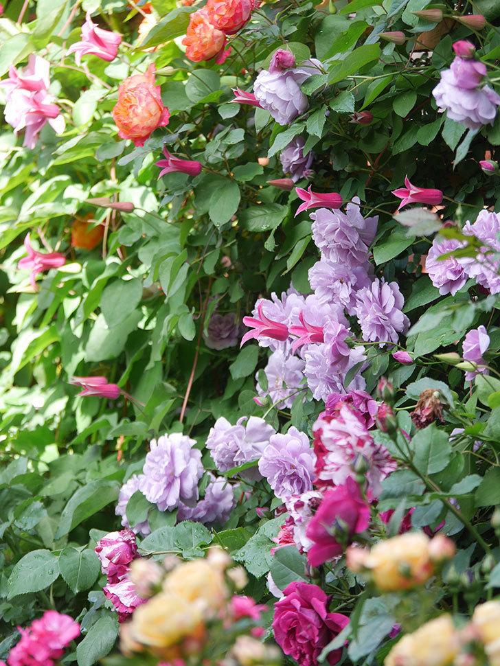 プリンセス・ダイアナ(テキセンシス系 新枝咲き)の花が増えてきた。2021年-051.jpg