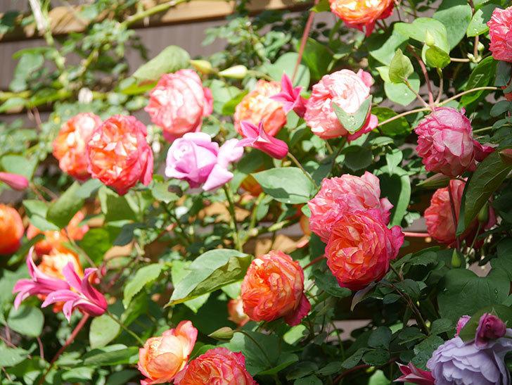 プリンセス・ダイアナ(テキセンシス系 新枝咲き)の花が増えてきた。2021年-052.jpg