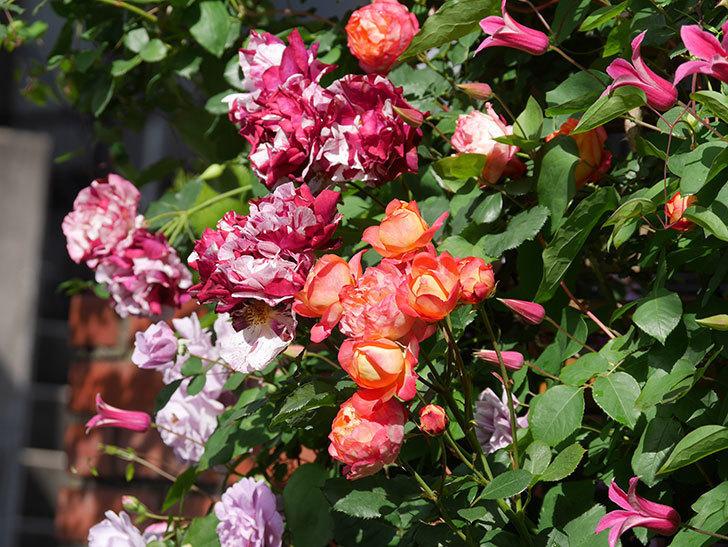プリンセス・ダイアナ(テキセンシス系 新枝咲き)の花が増えてきた。2021年-054.jpg