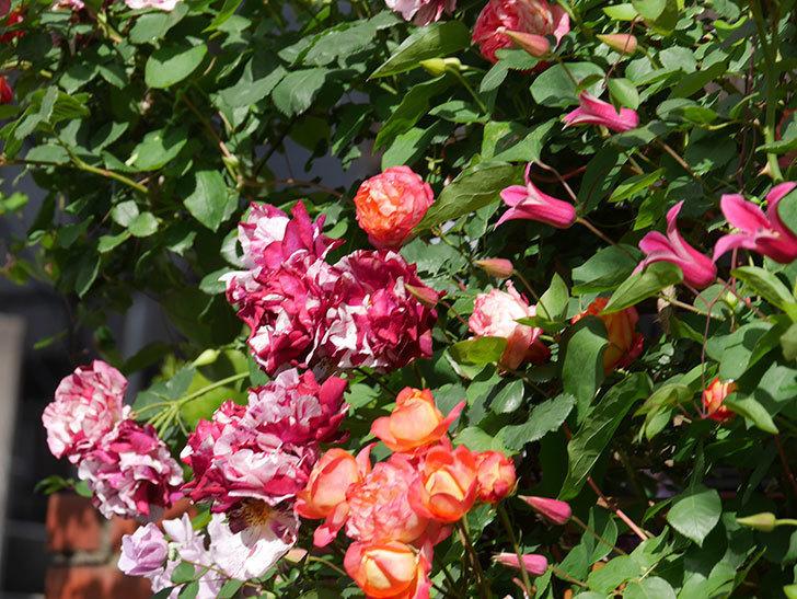 プリンセス・ダイアナ(テキセンシス系 新枝咲き)の花が増えてきた。2021年-055.jpg