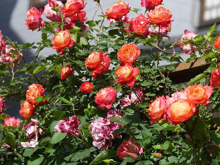 プリンセス・ダイアナ(テキセンシス系 新枝咲き)の花が増えてきた。2021年-056.jpg