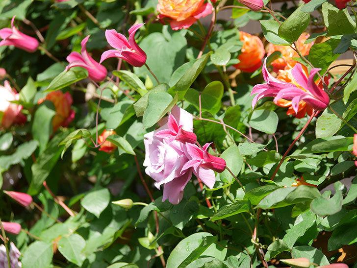 プリンセス・ダイアナ(テキセンシス系 新枝咲き)の花が増えてきた。2021年-057.jpg