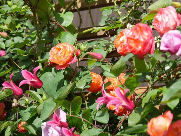プリンセス・ダイアナ(テキセンシス系 新枝咲き)の花が増えてきた。2021年-058.jpg