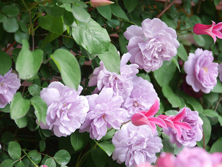 プリンセス・ダイアナ(テキセンシス系 新枝咲き)の花が増えてきた。2021年-059.jpg