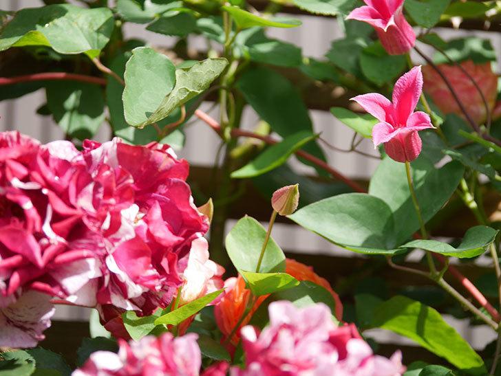 プリンセス・ダイアナ(テキセンシス系 新枝咲き)の花が増えてきた。2021年-061.jpg