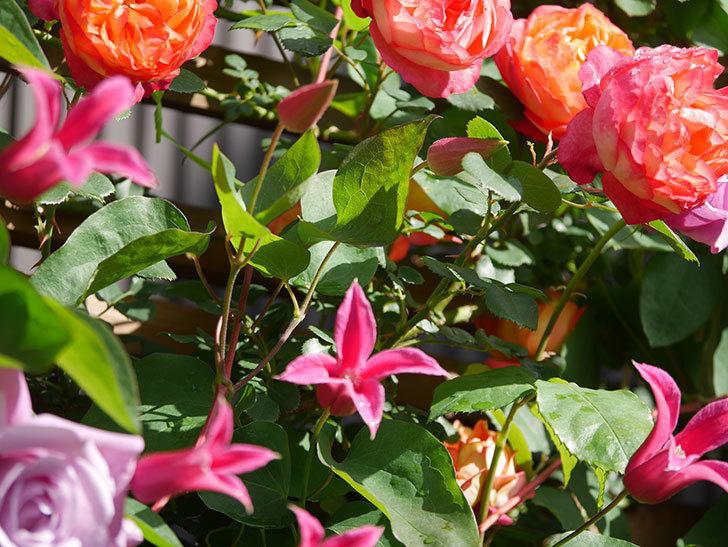 プリンセス・ダイアナ(テキセンシス系 新枝咲き)の花が増えてきた。2021年-065.jpg