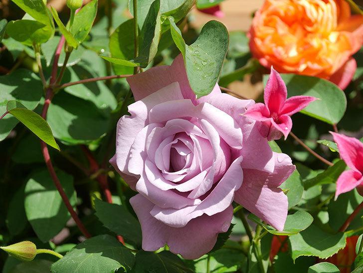 プリンセス・ダイアナ(テキセンシス系 新枝咲き)の花が増えてきた。2021年-066.jpg