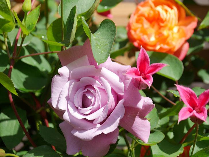 プリンセス・ダイアナ(テキセンシス系 新枝咲き)の花が増えてきた。2021年-067.jpg