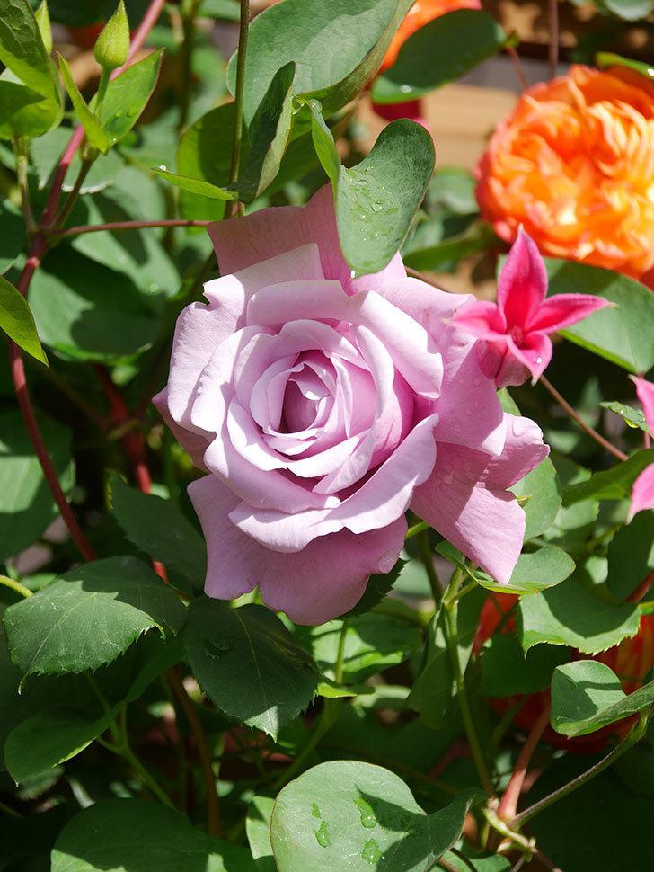 プリンセス・ダイアナ(テキセンシス系 新枝咲き)の花が増えてきた。2021年-068.jpg