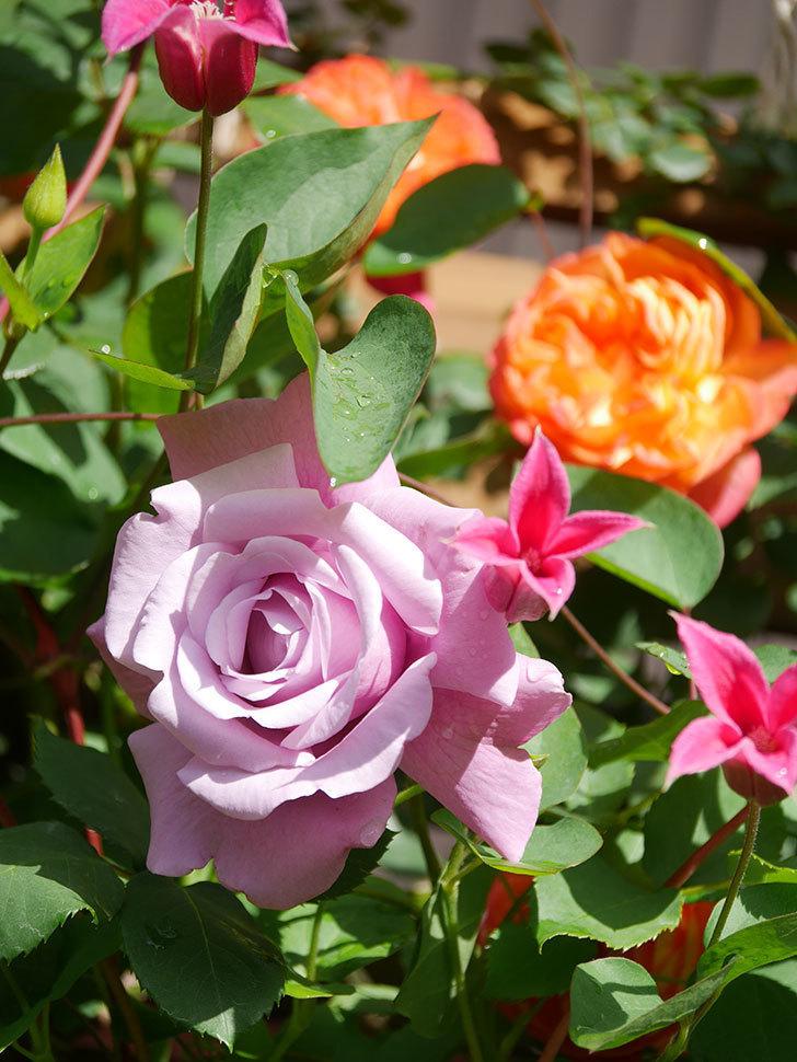 プリンセス・ダイアナ(テキセンシス系 新枝咲き)の花が増えてきた。2021年-069.jpg