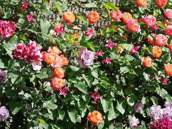 プリンセス・ダイアナ(テキセンシス系 新枝咲き)の花が増えてきた。2021年-070.jpg