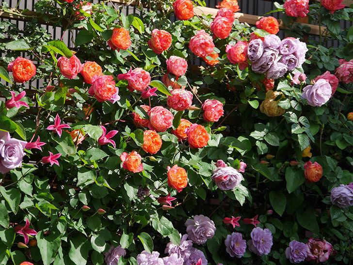 プリンセス・ダイアナ(テキセンシス系 新枝咲き)の花が増えてきた。2021年-071.jpg