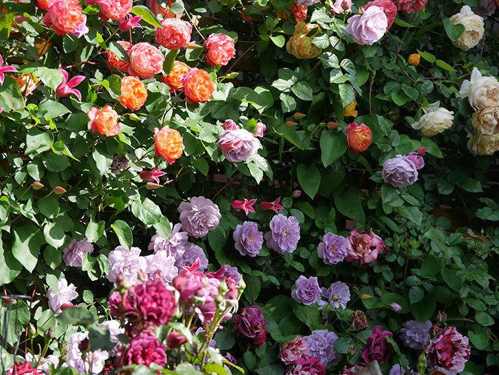 プリンセス・ダイアナ(テキセンシス系 新枝咲き)の花が増えてきた。2021年-072.jpg