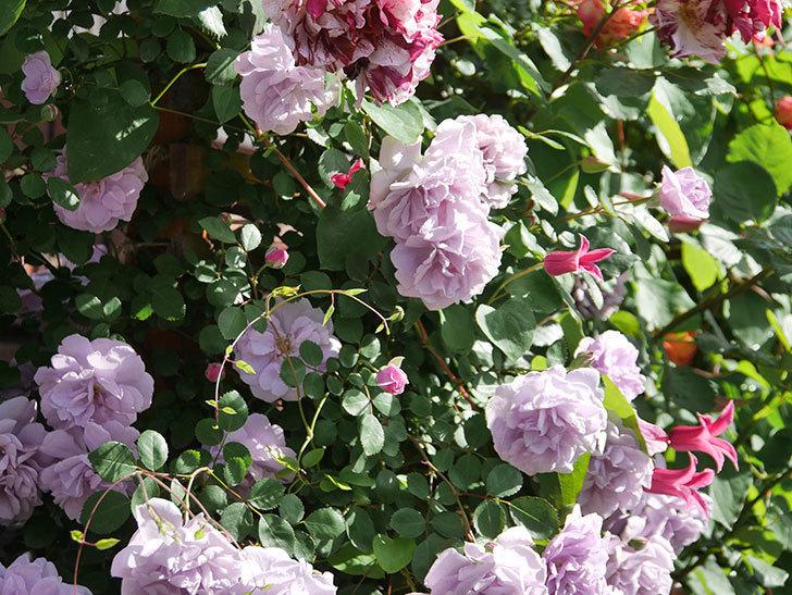 プリンセス・ダイアナ(テキセンシス系 新枝咲き)の花が増えてきた。2021年-073.jpg