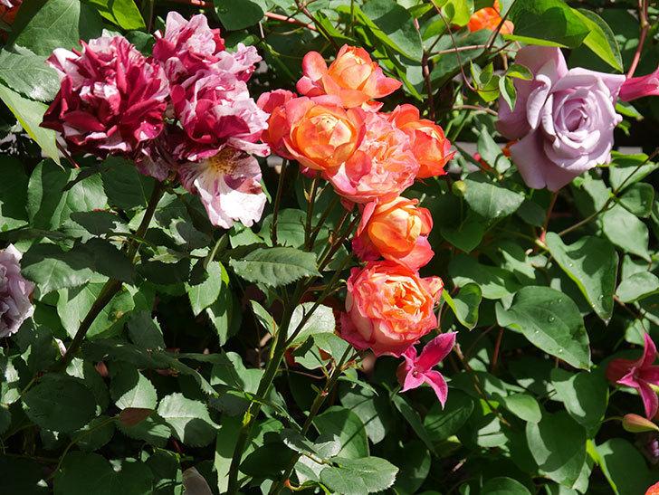 プリンセス・ダイアナ(テキセンシス系 新枝咲き)の花が増えてきた。2021年-074.jpg