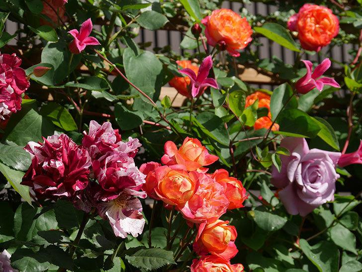 プリンセス・ダイアナ(テキセンシス系 新枝咲き)の花が増えてきた。2021年-075.jpg