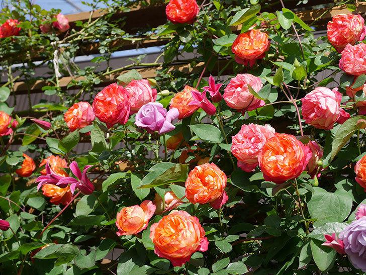 プリンセス・ダイアナ(テキセンシス系 新枝咲き)の花が増えてきた。2021年-076.jpg