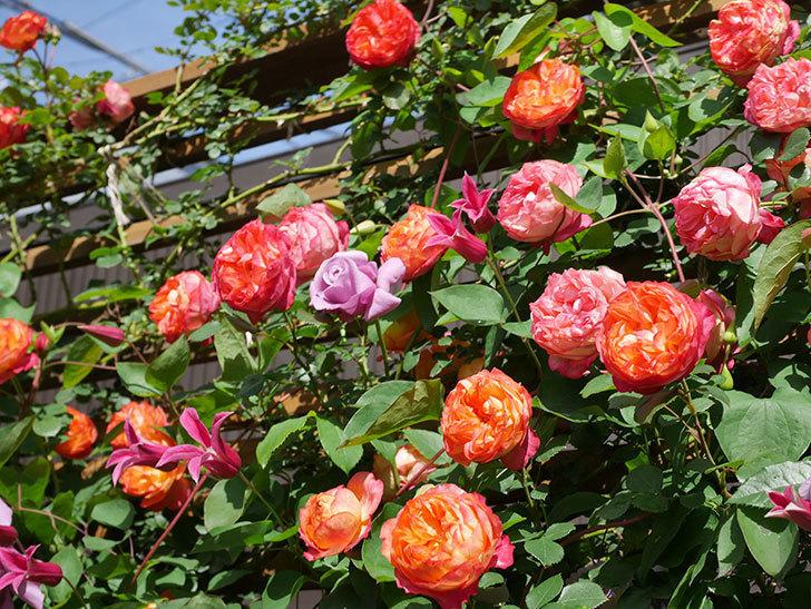 プリンセス・ダイアナ(テキセンシス系 新枝咲き)の花が増えてきた。2021年-077.jpg