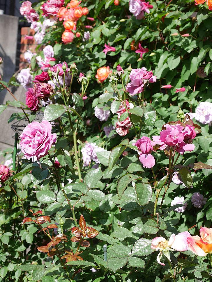 プリンセス・ダイアナ(テキセンシス系 新枝咲き)の花が増えてきた。2021年-078.jpg