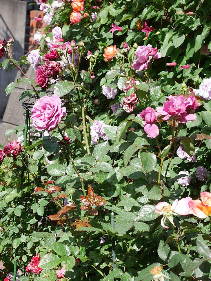 プリンセス・ダイアナ(テキセンシス系 新枝咲き)の花が増えてきた。2021年-079.jpg